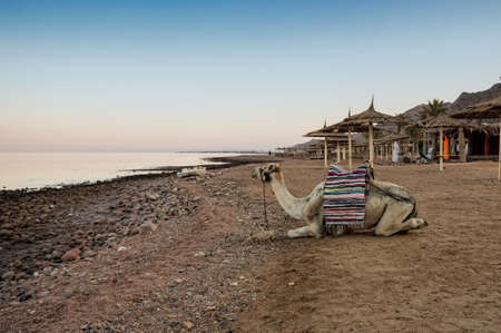 dromedaries: Camels in Dahab, Egypt