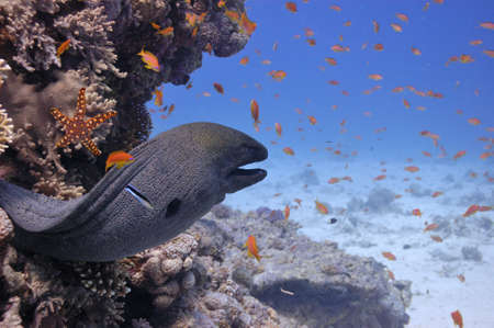 moray: Giant moray in the Red Sea