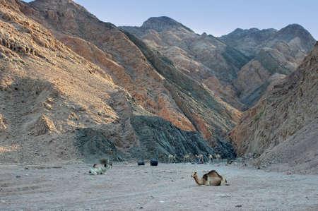 monte sinai: Camellos dromedarios ensilló en la base de las montañas del Sinaí