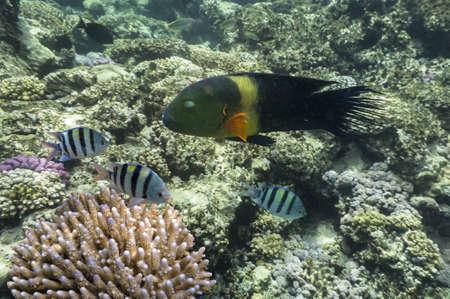 cheilinus: Boomtail wrasse  Cheilinus lunulatus  in Red Sea