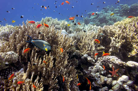 bannerfish: Tropical fish on Coral Reef and Acanthurus sohal in the Red Sea