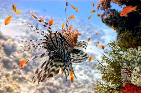 주 lionfish Pterois 홍해, 이집트에 산호초에 volitans