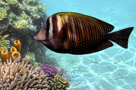 sailfin: Sailfin tang  zebrasoma desjardinii   Stock Photo