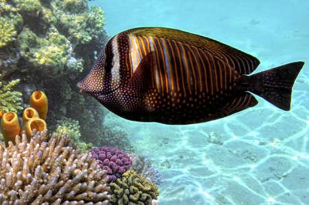 hardcoral: Sailfin tang  zebrasoma desjardinii   Stock Photo