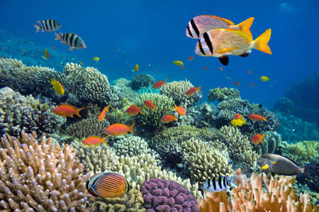 arrecife: Lanzamiento submarino de los arrecifes de coral vivo con unos peces
