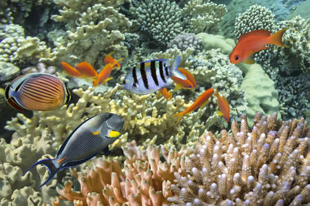 school of fish: Tropical Fish on Coral Reef in the Red Sea