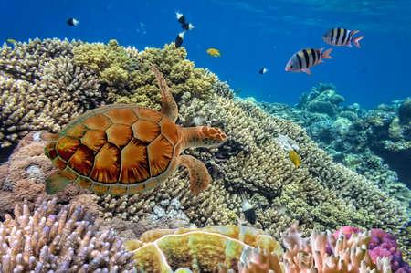 riviera maya: Green sea Turtle Chelonia Stock Photo