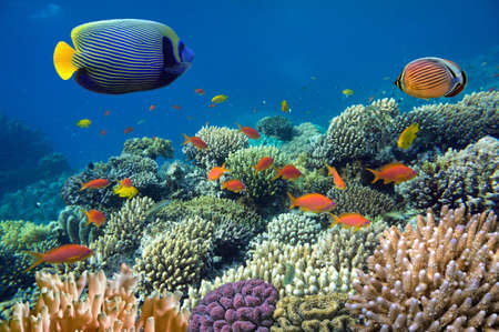 red coral colony: Photo of a coral colony, Red Sea, Egypt