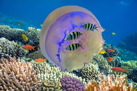 Shoal of fish and giant jellyfish photo