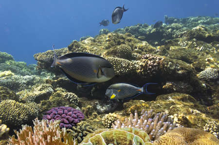 sharm el sheikh: Acanthurus sohal and Coral reef, Red Sea, Egypt Stock Photo