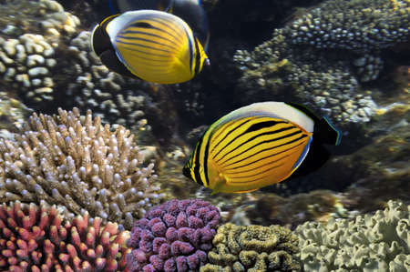 Polyp Butterflyfish, Red Sea, Egypt  photo