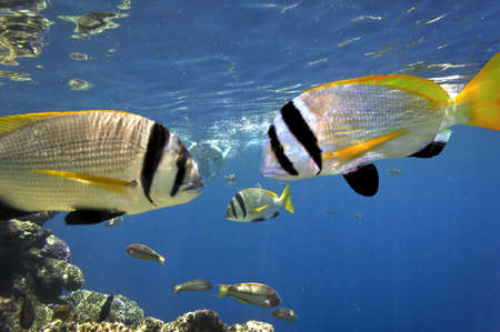 school of fish: Doublebar bream  acanthopagrus bifasciatus , Red Sea, Egypt Stock Photo