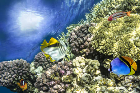 bannerfish: Underwater shoot of vivid coral reef with a fishes