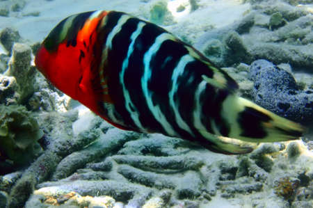 cheilinus: Redbreasted wrasse
