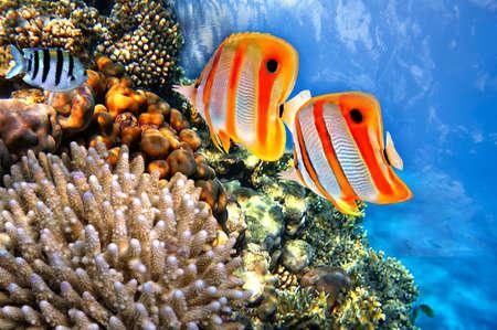 サンゴ礁と Copperband チョウチョウウオ Chelmon rostratus