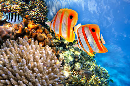 copperband butterflyfish: Coral reef and Copperband butterflyfish  Chelmon rostratus