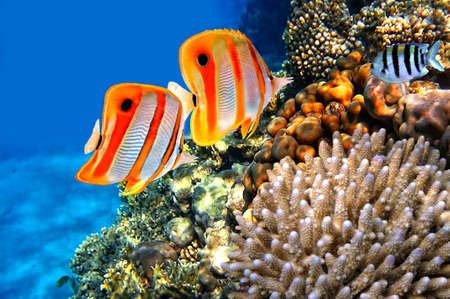 school of fish: Coral reef and Copperband butterflyfish  Chelmon rostratus
