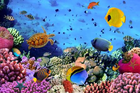 coral colony: Foto di una colonia di corallina, Mar Rosso, Egitto Archivio Fotografico