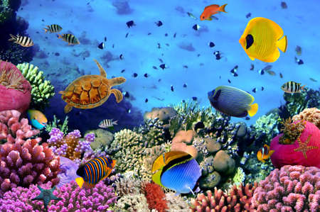 tropical fish: Photo of a coral colony, Red Sea, Egypt