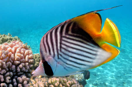butterflyfish: Threadfin butterflyfish  Chaetodon auriga  and coral reef, Red Sea, Egypt