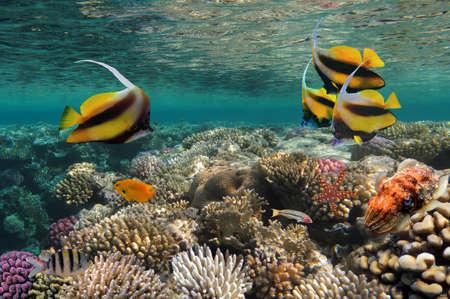 Pennant coralfish  Bannerfish , Red Sea, Egipt photo