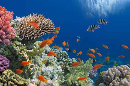 arrecife: Pescados tropicales en el fil�n coralino en el Mar Rojo