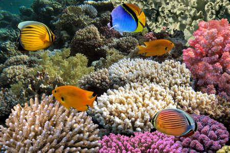 hard coral: Red Sea Coral Reef with Butterflyfish