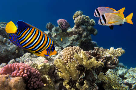 bannerfish: Regal Angelfish in the Red Sea, Egypt Stock Photo