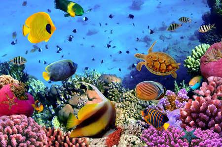 珊瑚のコロニー、紅海、エジプトの写真