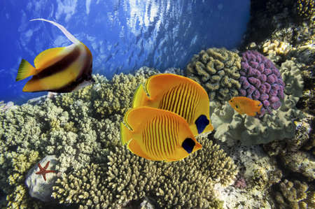 bannerfish: Pairs of Tropical Fish  Masked Butterflyfish and Red Sea Bannerfish on coral reef Stock Photo