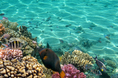 Tropical Fish on Coral Reef in the Red Sea photo
