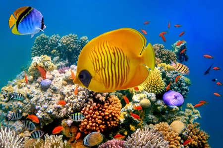 ecosistema: Pescados tropicales en un arrecife de coral Foto de archivo