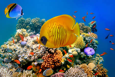 marine environment: Tropical Fish on a coral reef Stock Photo