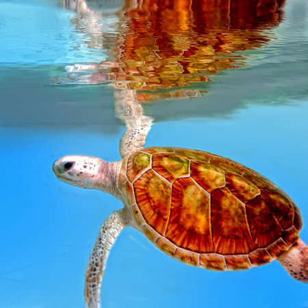 Green turtle underwater  Reflection on surface   Stock Photo