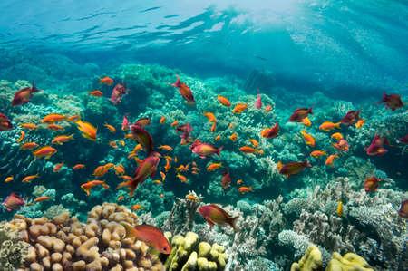 corales marinos: Coral Reef y peces tropicales en la luz del sol