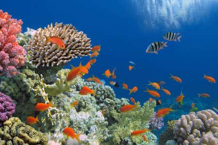ecosistema: Pescados tropicales en el filón coralino en el Mar Rojo