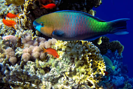 Steephead Parrotfish photo