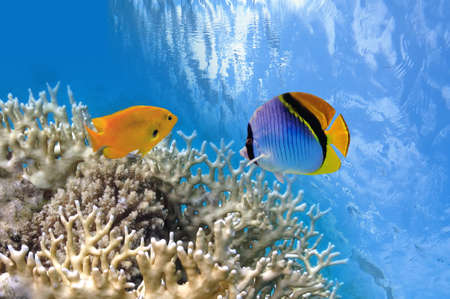 Tropical Fish on Coral Reef in the Red Sea  Stock Photo - 23283384