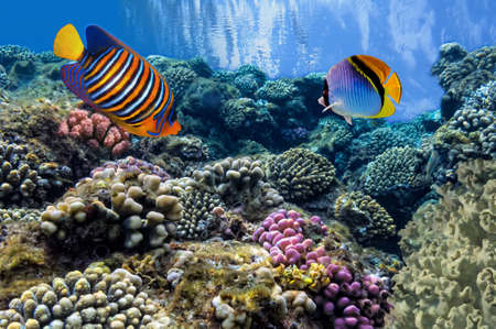 anthias fish: Tropical Fish on Coral Reef in the Red Sea