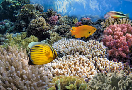 sharm el sheikh: Tropical Fish on Coral Reef in the Red Sea