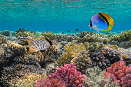 wildllife: Threadfin butterflyfish  Chaetodon auriga , Red Sea, Egypt  Stock Photo