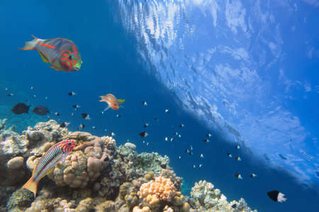 Thalassoma Klunzingeri and Hard corals in the Red Sea, Egypt  photo