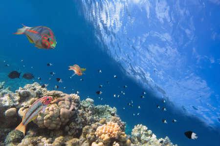 basslet: Thalassoma Klunzingeri y corales duros en el Mar Rojo, Egipto Foto de archivo