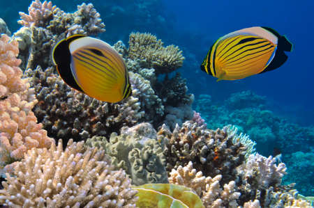 sarcophyton: Polyp Butterflyfish and Soft coral, Red Sea, Egypt  Stock Photo