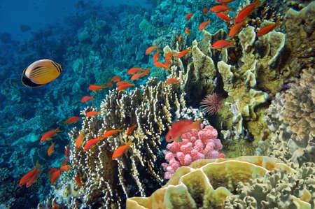 basslet: Peces tropicales y corales duros en el Mar Rojo, Egipto Foto de archivo
