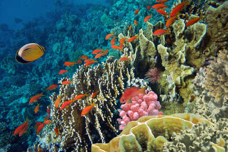 Tropical fish and Hard corals in the Red Sea, Egypt photo