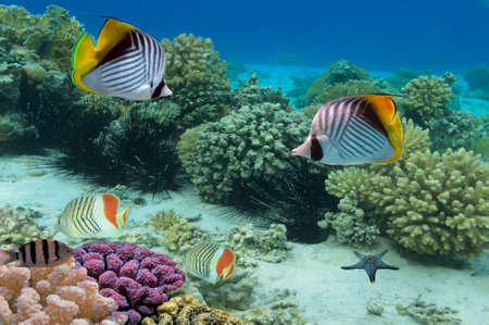 Threadfin butterflyfish and coral reef, Red Sea, Egypt Stock Photo - 24469879