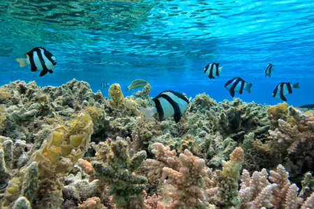 humbug: Humbug dascyllus in red sea