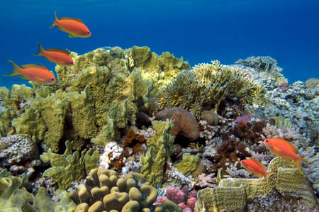 soft corals: Coral reef with soft and hard corals with exotic fishes anthias on the bottom of tropical sea on blue water background