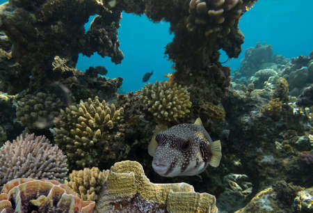 critter: Giant pufferfish